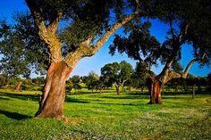 Cork oaks (Quercus suber) and grassland or dehesa.  Monfragüe National Park and UNESCO Biosphere Reserve. Caceres, Extremadura, #Spain #Monfragüe #Birdwatching #extremadura