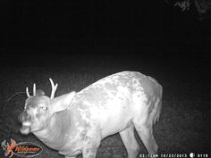 Vote for this odd trail cam pic on the Ontario Out Of Doors website !! #albinodeer
