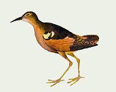 The White-winged Sandpiper, Prosobonia ellisi, is an extinct member of the large wader family Scolopacidae that was endemic to the Moorea in French Polynesia, where the locals called it te-te in the Tahitian language.