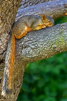 Dreamer - Squirrel