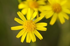 Arnica flower helps to awaken and revive the skin, combats puffiness and promotes clean pores.
