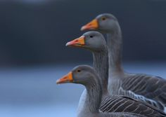 Greylag Goose Gang.