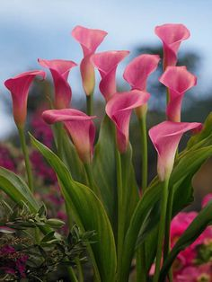 Rising elegantly on sturdy stems, this Calla Lily will grow up to 24 in. Description from gardenia.net. I searched for this on bing.com/images