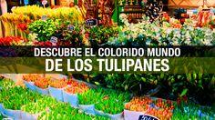 Ámsterdam: descubriendo el colorido mundo de los tulipanes