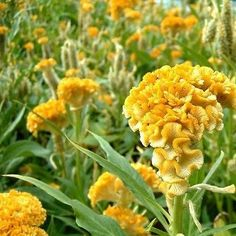 Cockscomb (Celosia Cristata Nana Jessica Yellow) - If you need a flower to perform in high heat and humidity, start Celosia seeds and enjoy the vibrant yellow of this Celosia Cristata plant. Commonly