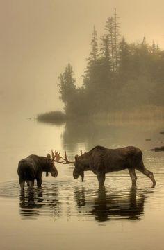 Moose in Isle Royale Park, Michigan