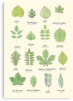 Composting Hacks Leaf ID Chart Poster - Poster. Additional sizes are available. A useful leaf ID chart for common british trees.