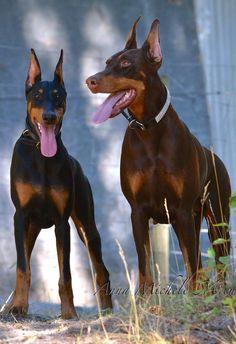 Doberman Pinschers - Anna Michele Mccue Juno and Jinx - Beautiful dogs.