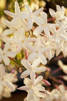 Jasmin, my fav smell Amazing Flowers, My Flower, White Flowers, Beautiful Flowers, Lily Of The Valley, Beautiful Gardens, Mother Nature, Planting Flowers, Bloom
