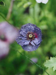 Amazing gray poppy Work Travel, The Locals, Poppy, Gray, Amazing, Garden, Garten, Grey, Lawn And Garden
