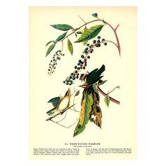 Worm-Eating Warbler, Instant Download Vintage John James Audubon Print 1941, Birds of America, Full Color, 140 megapix, Helmitheros Vermivor by BadPennysVintage on Etsy