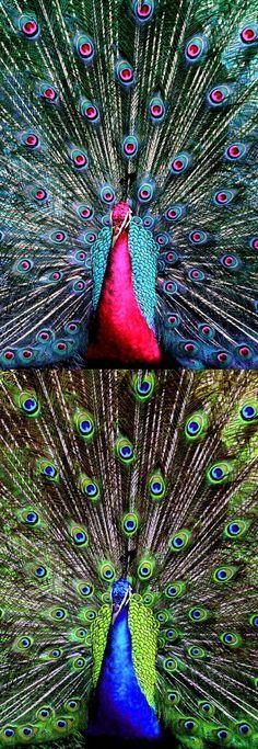 Pretty Birds, Love Birds, Beautiful Birds, Animals Beautiful, Peacock And Peahen, Peacock Art, Pink Peacock, Animals And Pets, Cute Animals