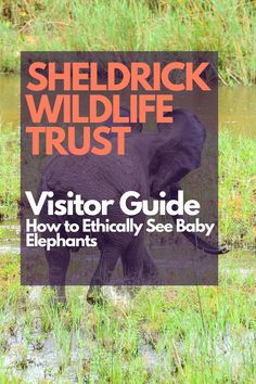 Visiting the Sheldrick Wildlife Trust in Nairobi Kenya is a great way to ETHICALLY get close to baby elephants. here's your guide to visiting this incredible animal rescue. Sheldrick Wildlife Trust, Kenya Travel, Baby Elephants, Wildlife Conservation, Nairobi, Animals Of The World, Animal Rescue, Challenges, The Incredibles