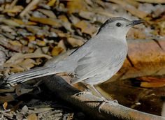 Gray Catbird.  Joins me for lunch regularly. Skittish & excitable.  Bit of a bully.
