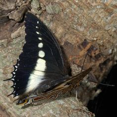 White-barred emperor (Charaxes brutus)