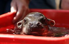 Here's a baby hippo taking a bath.