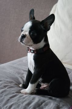 Burton mon petit boston terrier