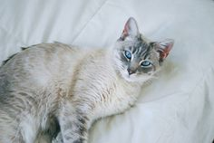 Siamese Cats Blue Point Lynx Point Siamese - every picture I see of them I miss mine more and more. I Love Cats, Crazy Cats, Cool Cats, Pretty Cats, Beautiful Cats, Siamese Cats, Cats And Kittens, Cats Meowing, Animals And Pets