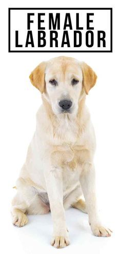 Female Labrador Caring For Her From Puppyhood To Adulthood - Pets dogs - Puppies Golden Retriever, Retriever Puppy, Labrador Retrievers, Labrador Dog Breed, Yellow Lab Puppies, Dog Spay, Humor, Dog Care, Dog Training