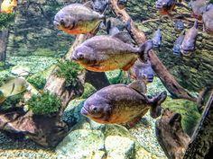 Vöröshasú piranha - Tropicarium Budapest
