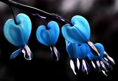 Bleeding Hearts in Blue by Pink Sherbert Photography