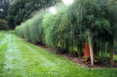 Asparagus Hedge - Grows into tall delicate ferns, and you can harvest it early in the season.  It multiple stalks make for a visually interesting hedge.  Asparagus is perennial, but will die down to the ground each winter. Consequently, this hedge is seasonal only.  May take a few years to fully establish.  Pic 1 of 2.