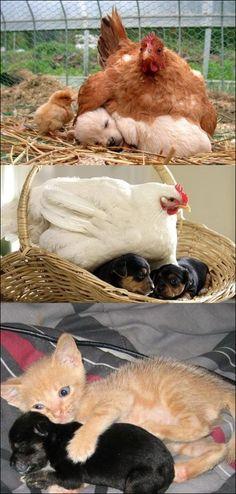 개를 품은 닭