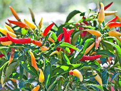 Asking annual flowers to put up with hot, baking sun, dry soil, or high humidity is no small challenge. These 12 flowers can take it all and thrive.: Chile Peppers are As Ornamental as They are Hot Indoor Vegetable Gardening, Garden Plants, Indoor Plants, Gardening Tips, Potted Plants, What Is Chili, Full Sun Flowers, Chile, Growing Peppers