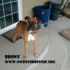 Bronx is a 3 year old fawn male being fostered in Des Moines, WA. Find out more about him on our website www.nwboxerrescue.org or our Facebook page www.facebook.com/northwestboxerrescue