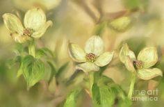 Dogwood Digital Art - Triple Dogwood Blossoms In Evening Light by Lois Bryan