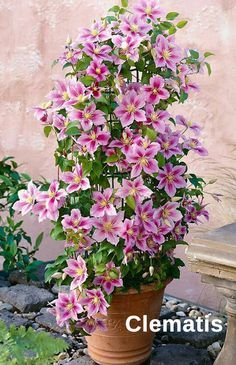 Clematis are the most popular and attractive flowering plants that you can grow in home landscape. Clematis climbs by twisting leaf stalks and supports growing against walls and solid fences.