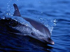 Dolphins are marine mammals closely related to whales and porpoises. There are almost forty species of dolphin in 17 genera. Orcas, Dolphin Habitat, Dolphin Facts, Dolphin Food, Dolphin Tours, Especie Animal, Animal Wallpaper, Wallpaper Desktop, Desktop Backgrounds
