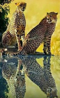Two Cheetahs Taking Advantage of a Most Inviting Watering Hole Plus a Bit of Shade.