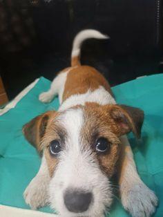 Jack Russell Terrier, Corgi, Animals, Corgis, Animales, Animaux, Animal, Animais, Dieren