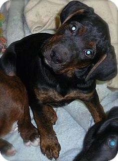 ILLINOIS ~ Mack is an adoptable Labrador Retriever Hound puppy dog in Burr Ridge. Mack is UTD shots & good with kids/dogs/cats. His mom was found in a field cold alone & pregnant- taken to AC where it was determined she was HW+  She soon had 5 pups in shelter & since her time was up was pulled & had 5 more during transport. If you can't adopt plz consider donating for their care. They're with Angel4CauseRescue 9059 Elm Ave Burr Ridge IL 60527   (708) 715-8471