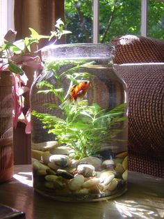 Abercrombie Fish. Target sells the XL mason jar... Now I know what to do with it! Indoor Water Garden, Indoor Plants, Indoor Pond, Indoor Orchids, Aquascaping, Feng Shui, Ideias Diy, Meditation Space, Meditation Altar