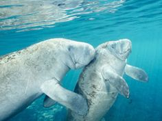 Swim with manatees at Homosassa State Park for an underwater adventure. Snorkel, fins, professional guide, and pickup from Orlando area included Everglades Airboat, Swimming With Manatees, Manatee Florida, Airboat Rides, Orlando Parks, Orlando Florida, Kayak Rentals, Crystal River, Wildlife Park