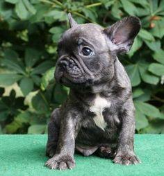 Stolze Französische Bulldogge - einfach zum knuddeln