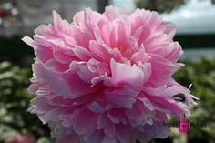 Peony Tutu #peony #photography #card #print #canvas #nature #flower #pink