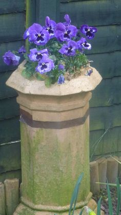Blue winter pansies in a chimney pot