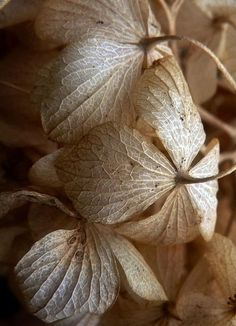 "chasingrainbowsforever: """"Dried Hydrangeas"" ~ Photography by Zsaj on Flickr. "" ♥"