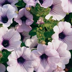 Supertunia Mini Blue Veined from Proven Winners has small light purple flowers that bloom from planting to a hard frost. Supertunia Mini petunias are strong trailing plants with a low height. Blue Bell Flowers, Light Purple Flowers, Colorful Flowers, White Flowers, Beautiful Flowers, Edging Plants, Garden Plants, Orchid Plants, Orchids