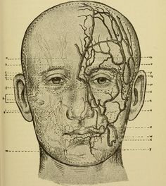 Nerves, arteries and veins of the face. Text-book of nervous diseases, being a compendium for the use of students and practitioners of medicine. 1894