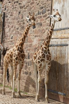We're hunting whatever is around this corner. Giraffe Pictures, Cute Pictures, Animal Magic, My Animal, Zoo Animals, Cute Animals, Spiritual Animal, African Animals, Animals Of The World