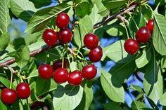 Jak prawidłowo uprawiać wiśnie w Polsce? Odpowiadamy! Dwarf Cherry Tree, Growing Cherry Trees, Cherry Plant, How To Grow Cherries, Sweet Cherries, Fruit Trees, Trees To Plant, Home And Garden Store, Plant Catalogs