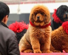 The World's Most Expensive Dog  $1,500,000