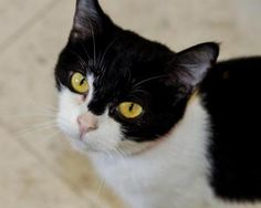 URGENT NEED FOR FOSTERS!  Skipper is an adoptable Domestic Short Hair-Black And White Cat in Frankfort, KY. Foster or adopt today - Transportation may be available - just ask. Contact: lonearrow@bellsouth.net ...