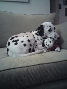 Pictures of Dalmatian Dog Breed                                                                                                                                                                                 Más