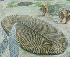 Dickinsonia - ediacaran. 1st discovered in S AU. It roughly resembles a bilaterally symmetrical ribbed oval. Its affinities are presently unknown; most interpretations consider it to be an animal, although others suggest it may be fungal, or a member of an 'extinct kingdom' - 558 to 555 Ma