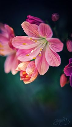 ~~Lil Beauty ~ Lewisia by Billie Jo Moscherosch~~
